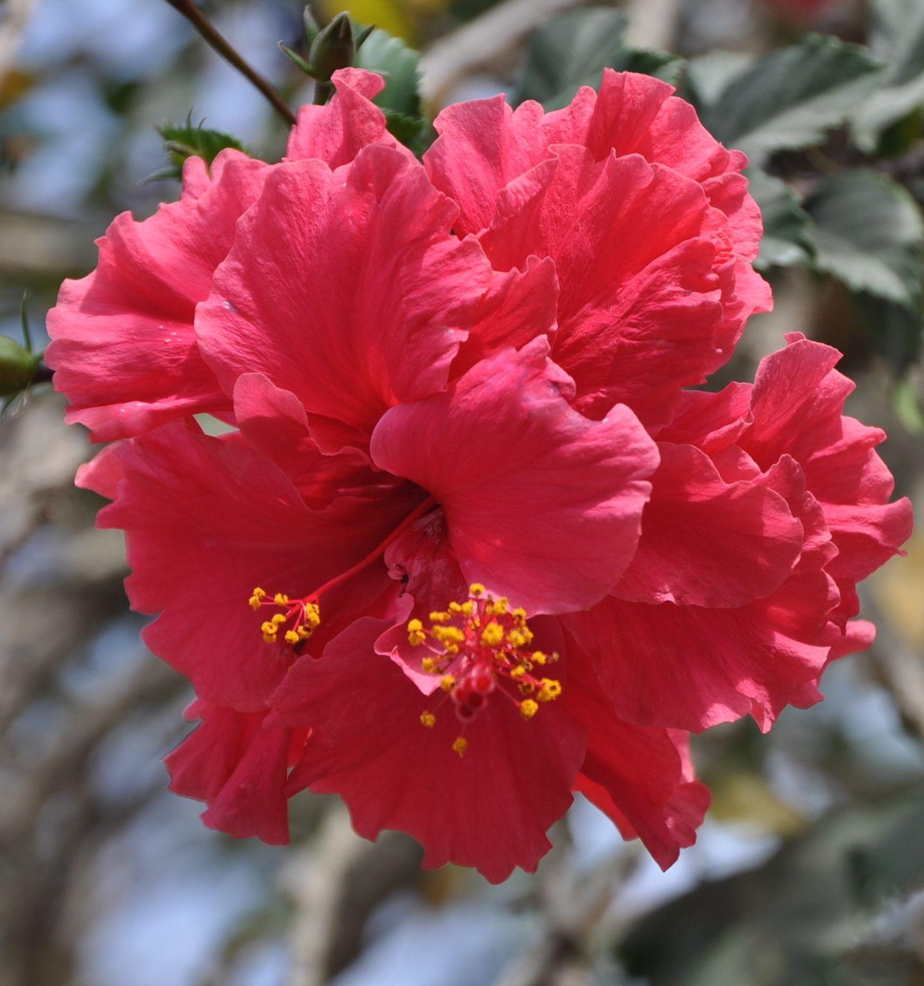 Double red hibiscus of Yelapa, Mexico Hibiscus plant