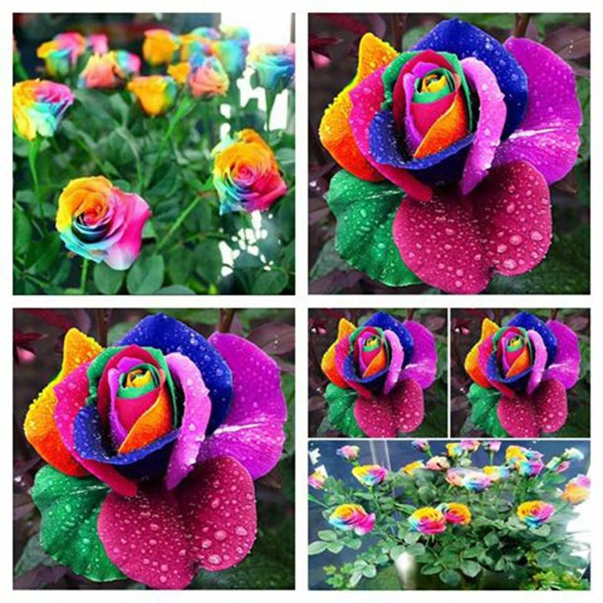 These Rainbow Roses Would Be So Magical In The Garden What Do You Think Find Rainbow Rose Seeds Here Http Amzn T Rose Seeds Rainbow Roses Flower Seeds