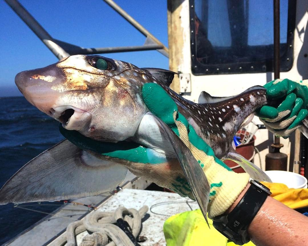 Found In Oregons Ocean Waters The Spotted Ratfish Is One