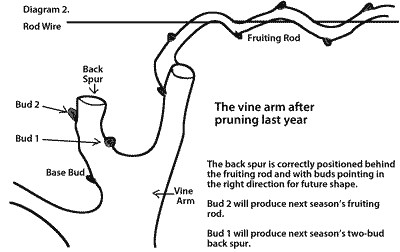 Pruning Grapevine A Diagram For Deciding Position Of What To