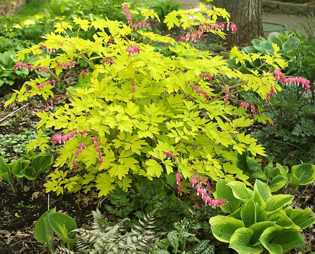 Dicentra gold heart bleeding heart yellow pink flowers perennial dicentra gold heart bleeding heart yellow pink flowers perennial shade whistler pemberton super natural landscapes spring mightylinksfo