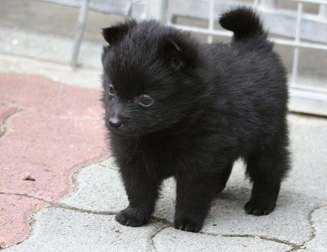 bébé schipperke 4 sem i m crazy about animals pinterest