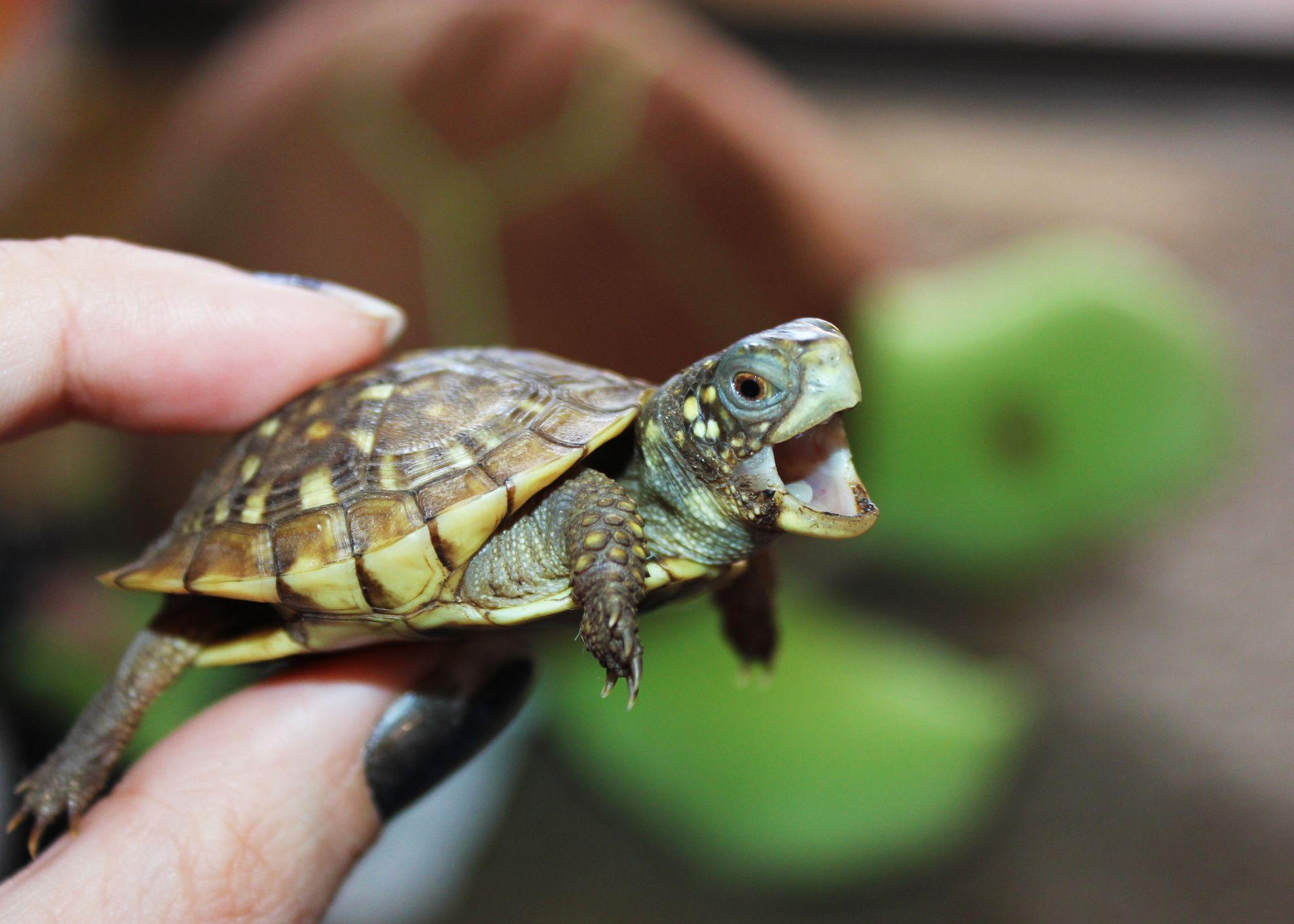 Baby turtle   Baby turtles, Turtle