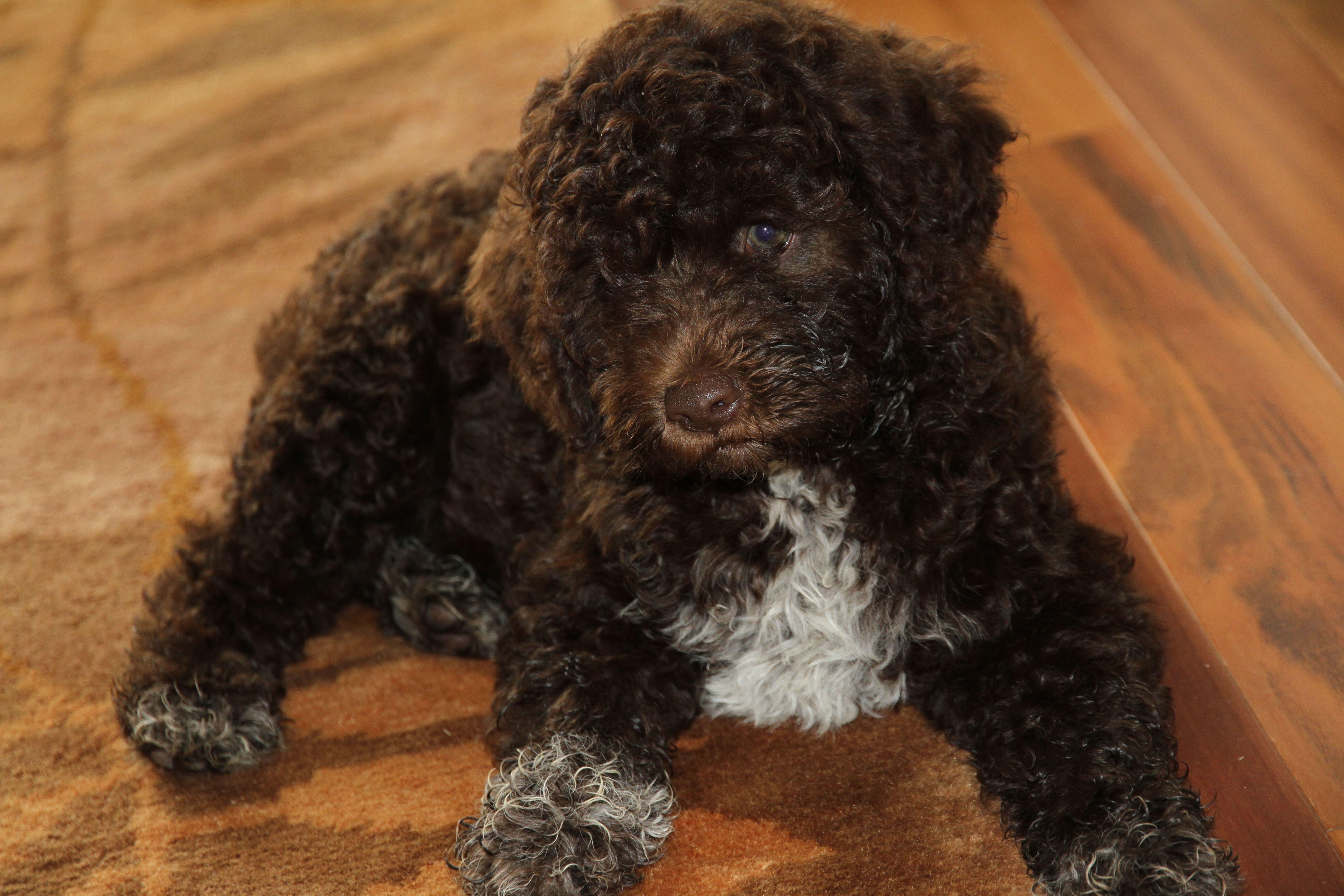 Sully The Augie Corgi Mini Aussie Corgi Mix Puppies Cute Little Animals Silly Dogs