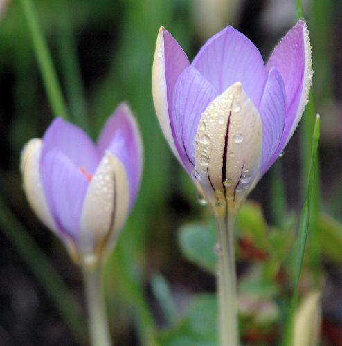 Crocus imperati ssp. imperati, by Mary Sue Ittner