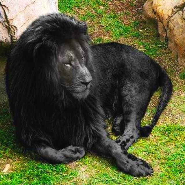 This lion has complete opposite of albinism, it's called melanism. Crazy right?!