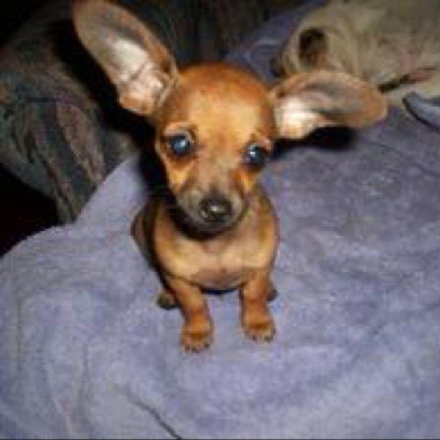 Chiweenie Biggest Ears I Ve Seen Omg Nala S Ears Do This All
