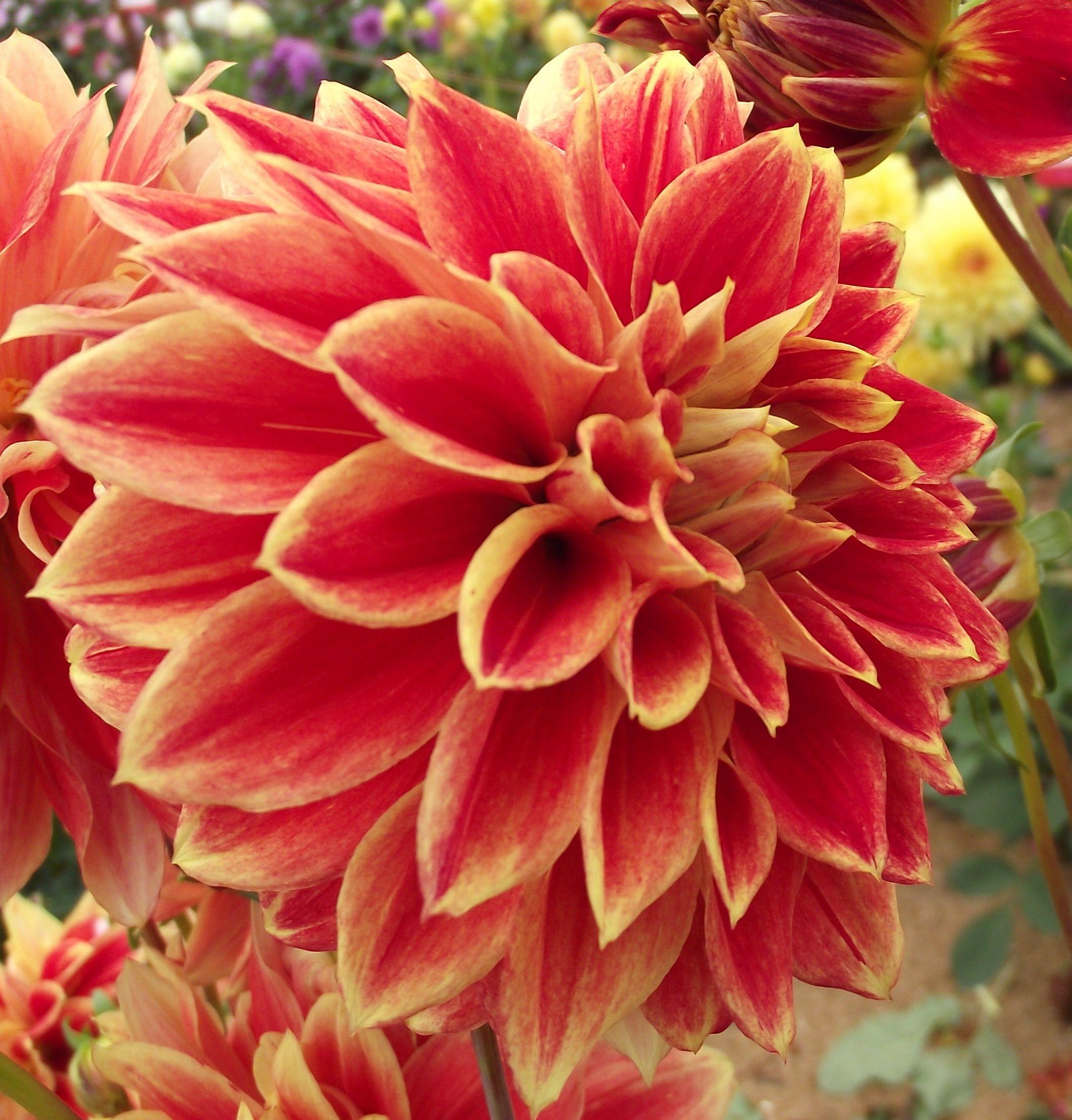 Dahlia \'Alauna Pixel\'   ~Dahlias~   Pinterest   Dahlia, Flowers and ...