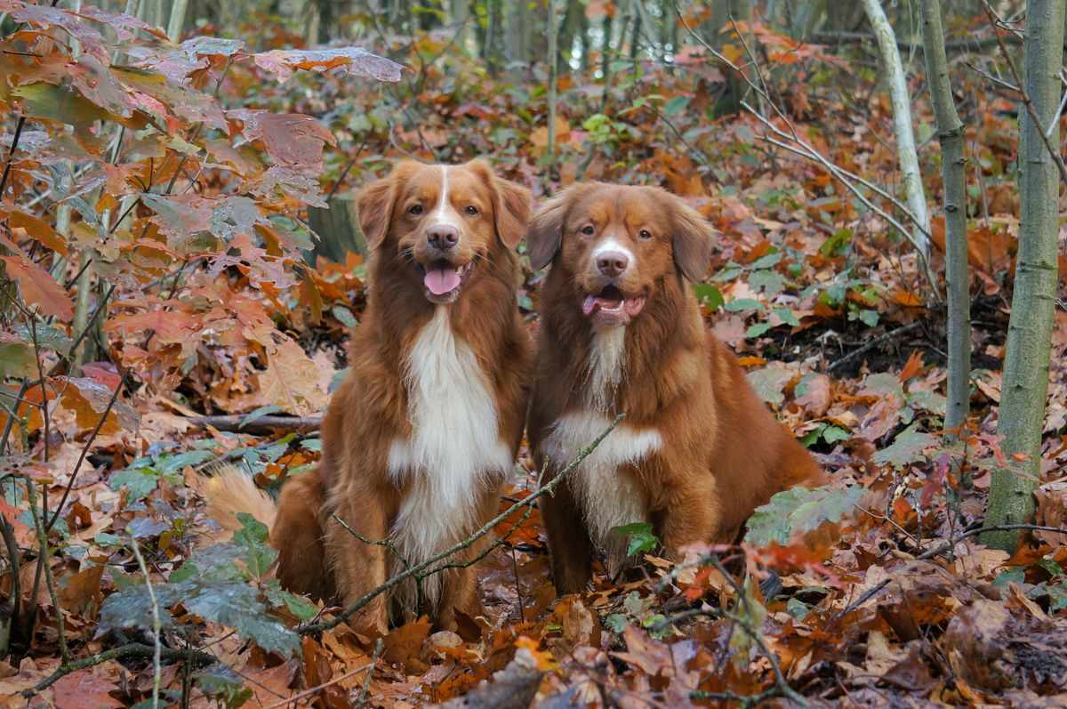 Autumn Is Coming Here In The Netherlands We Think Every Season Has Beautiful Sides First Of All Our Tollers Blend In Perfectly In Autumn Tollers Autum F