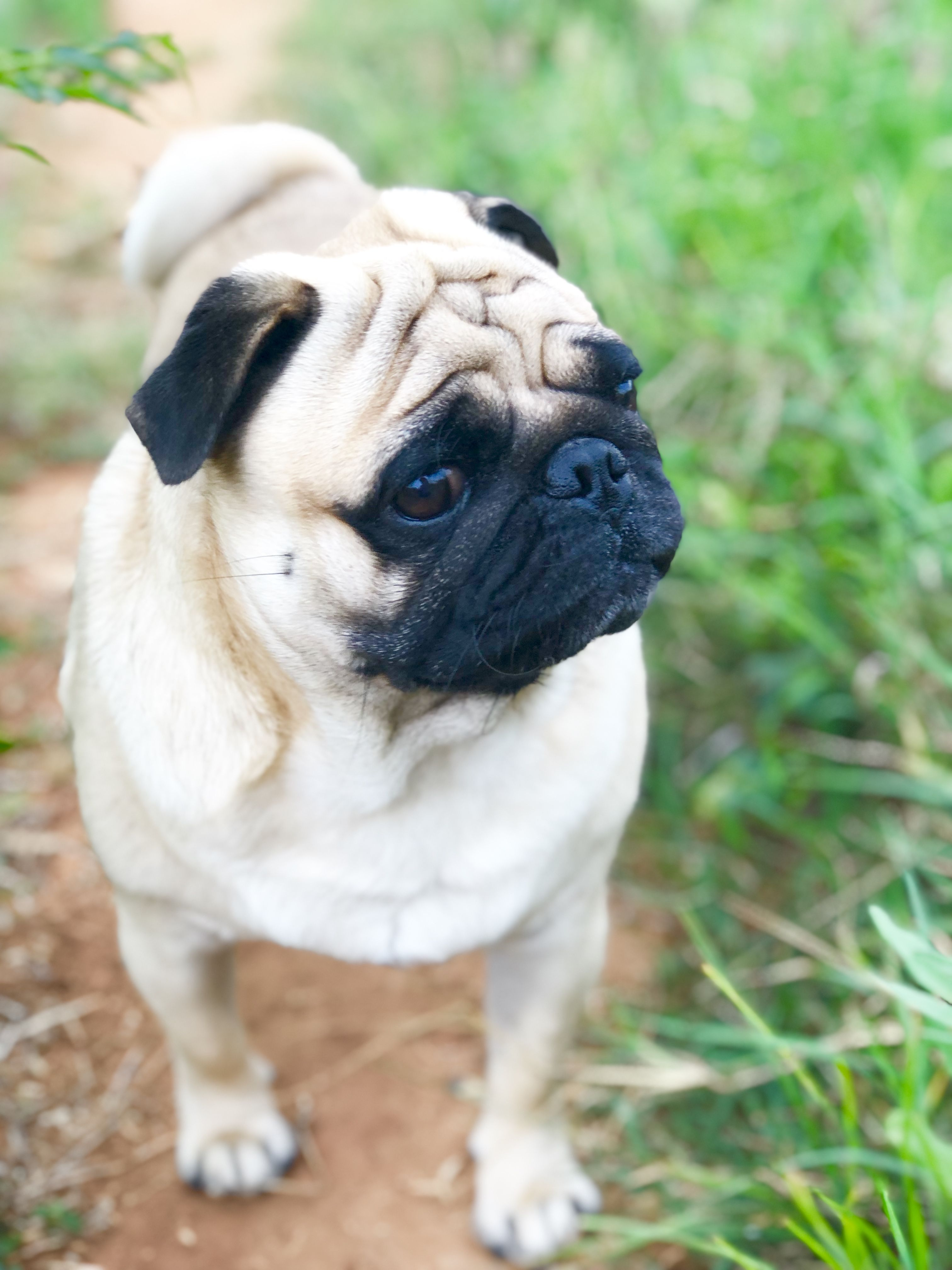 Idea By Cooljay On Pogo The Pug Cute Pug Puppies Pug Dog