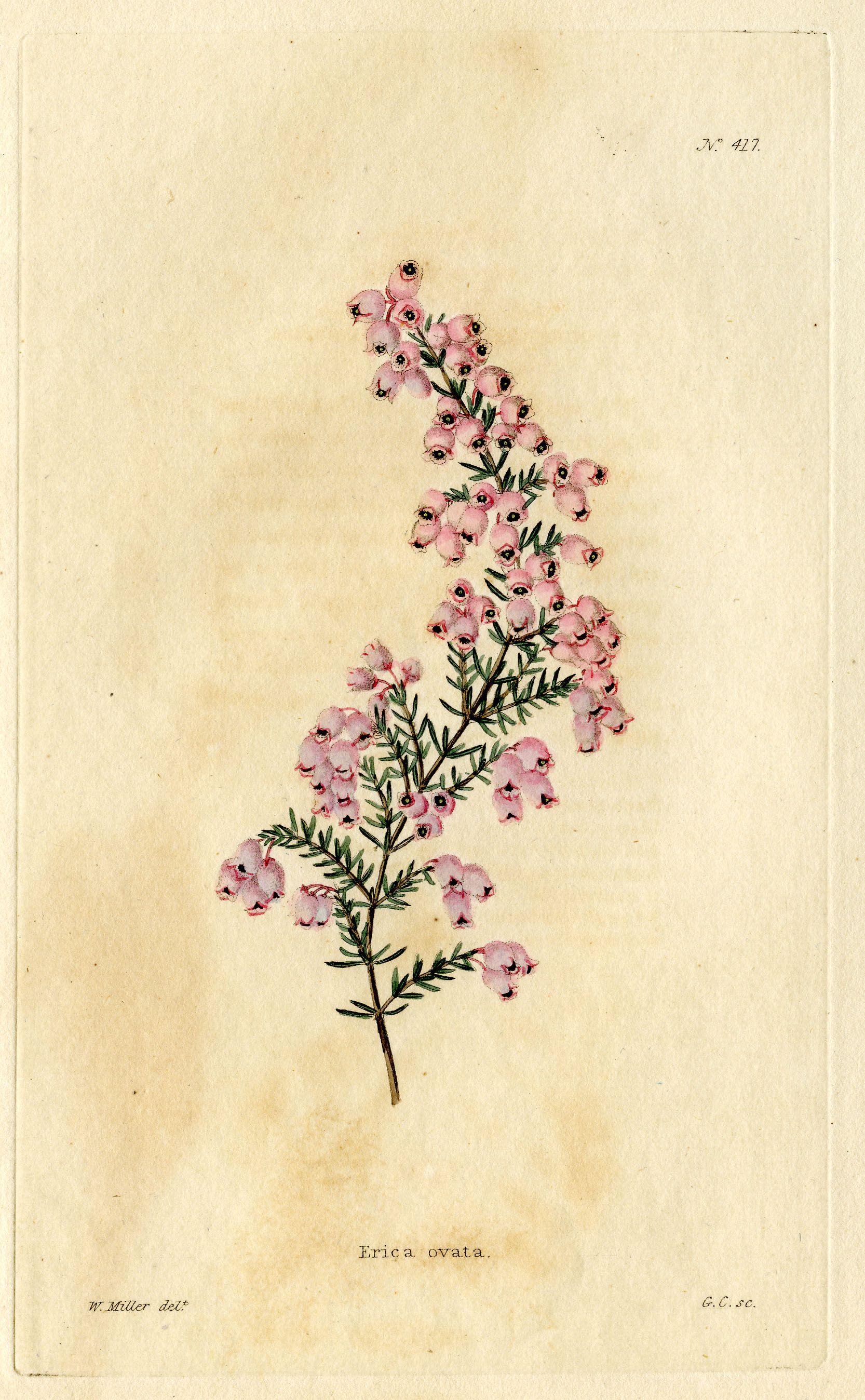 Bruyère | Illustration botanique, Dessins botaniques, Dessin botanique