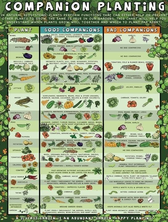 Companion Planting Chart 4 Beginner Gardening Mistakes To Avoid