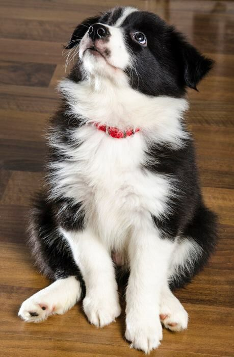Pin By Sydney On Susse Hunde Collie Puppies Border Collie Puppies Cute Dogs And Puppies
