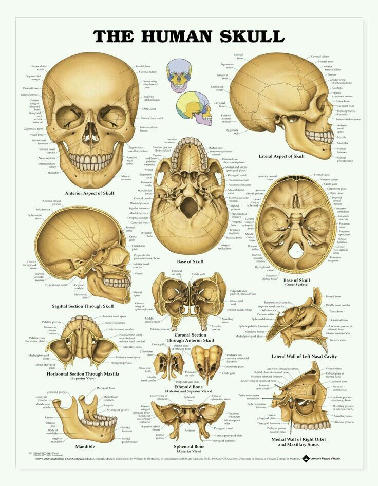 Cara, cráneo y cavidades | Anatomy | Pinterest