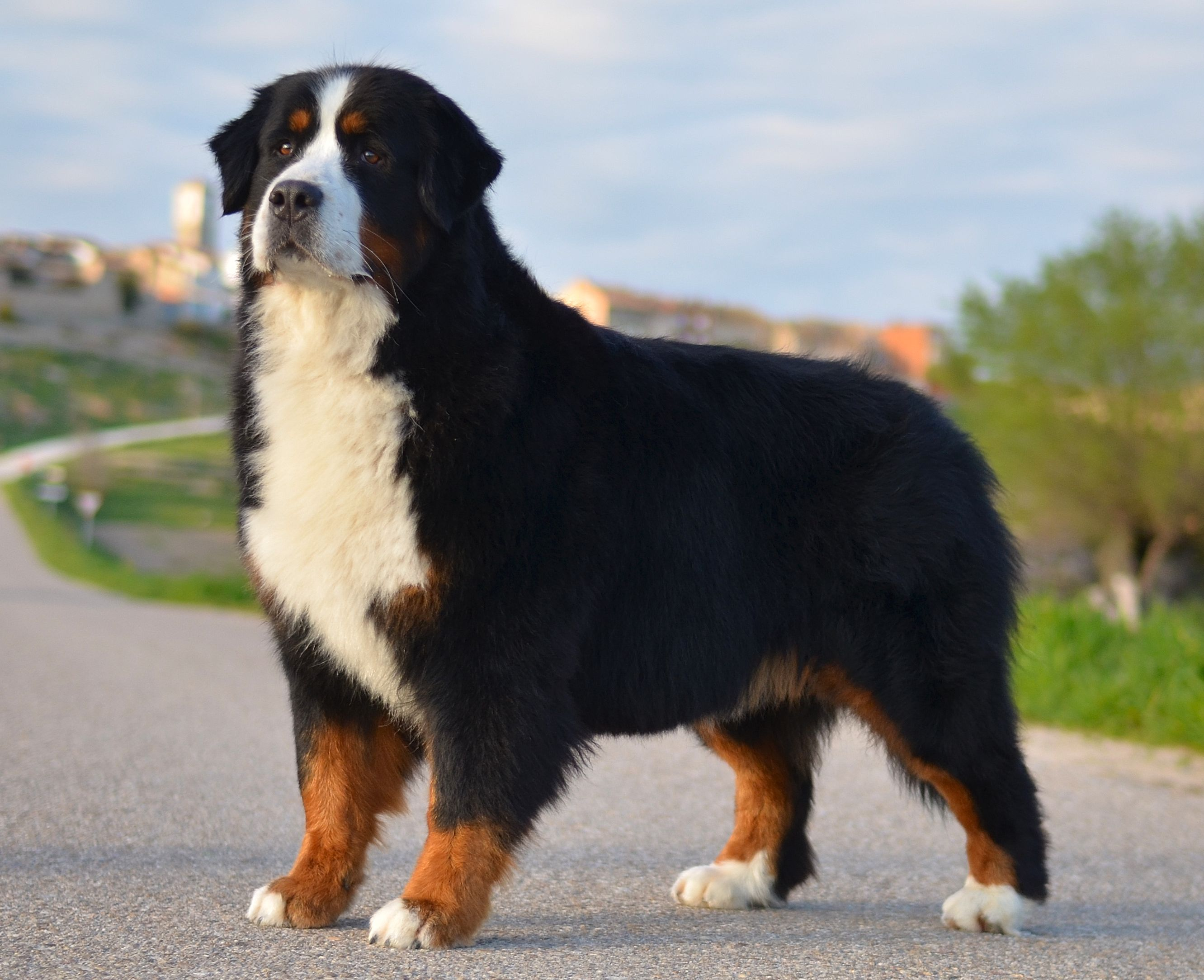 Devael Typical Spanish Con 4 Anos 4 Years Old Bernese Mountain Dog Mountain Dogs Litter