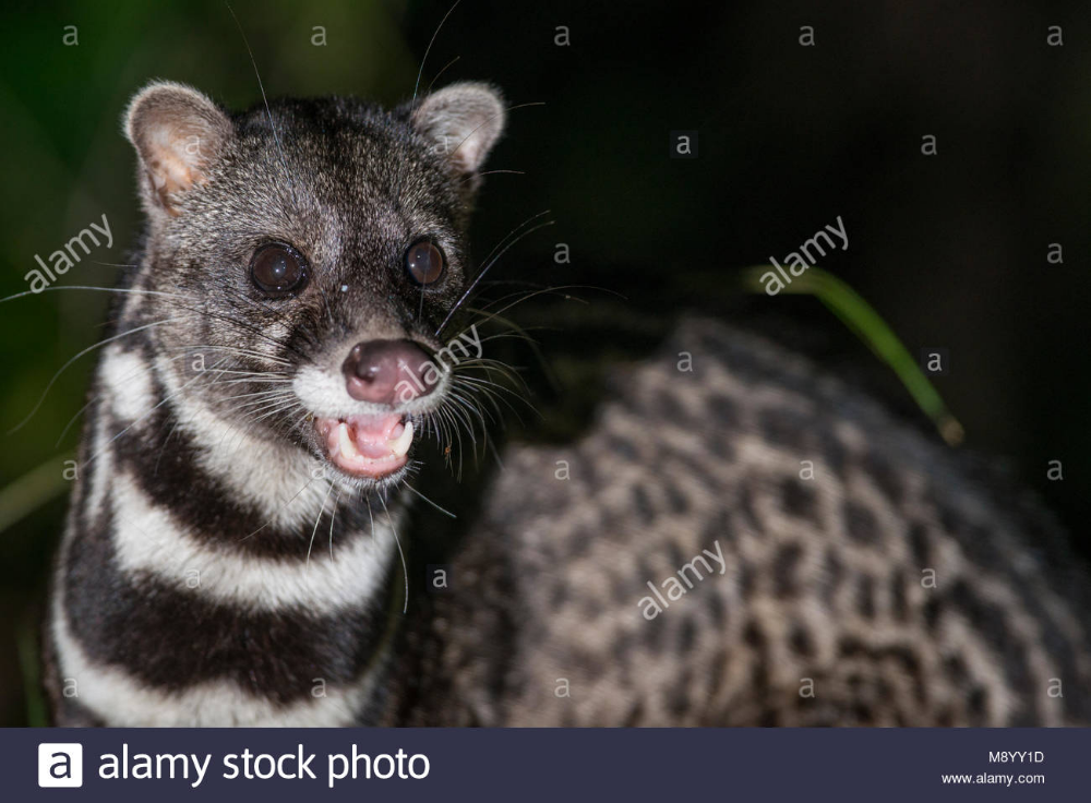 Malay Civet, Viverra tangalunga, Maliau Basin, Sabah