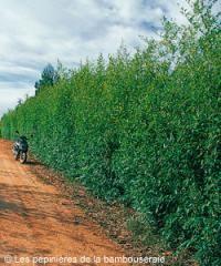 Choisir un bambou pour une haie libre ou taillée (Guides d\'achat ...