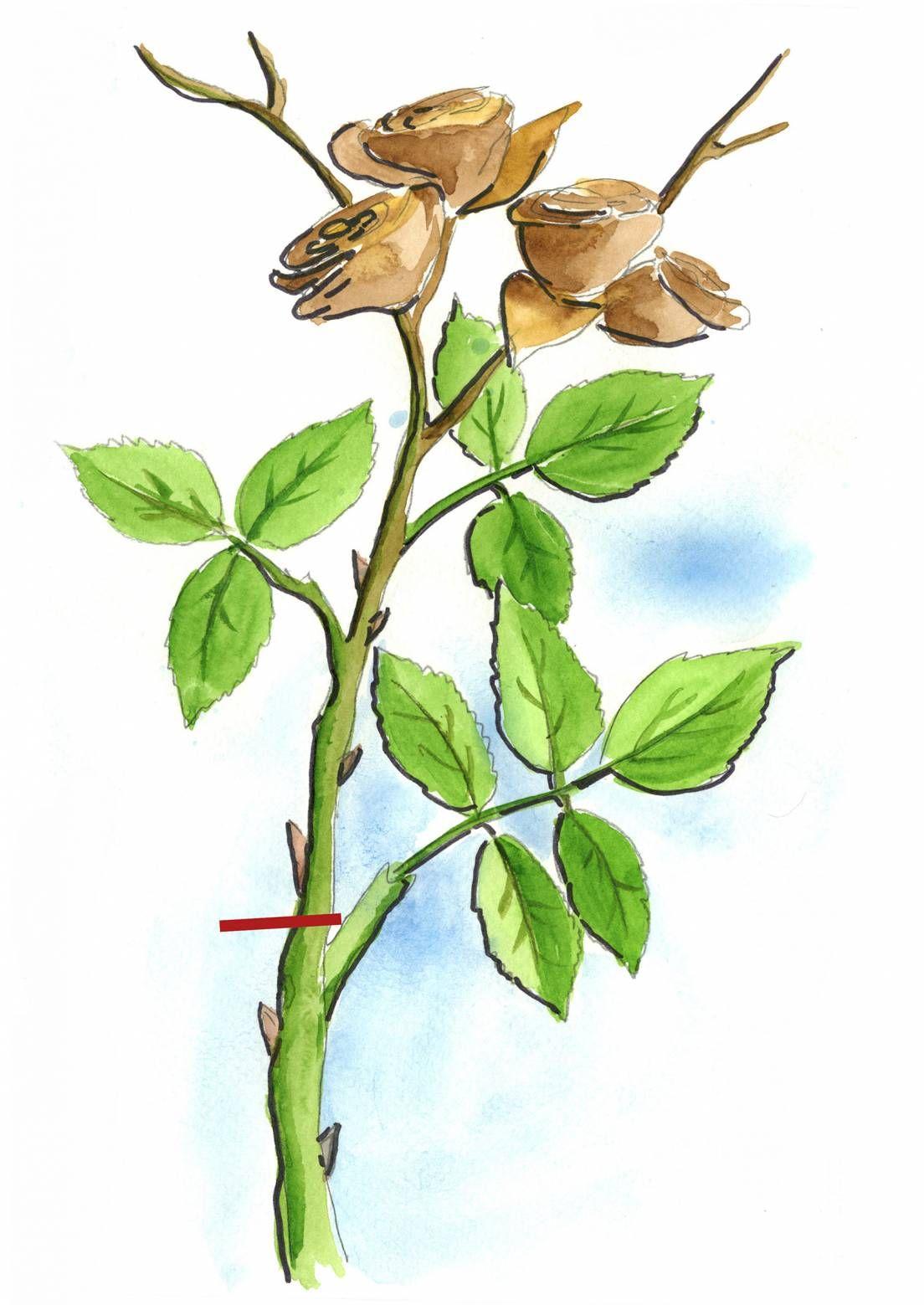 Säännöllinen leikkaaminen takaa ruusujen uhkeat kukinnot. Viherpihan vinkeillä onnistut!