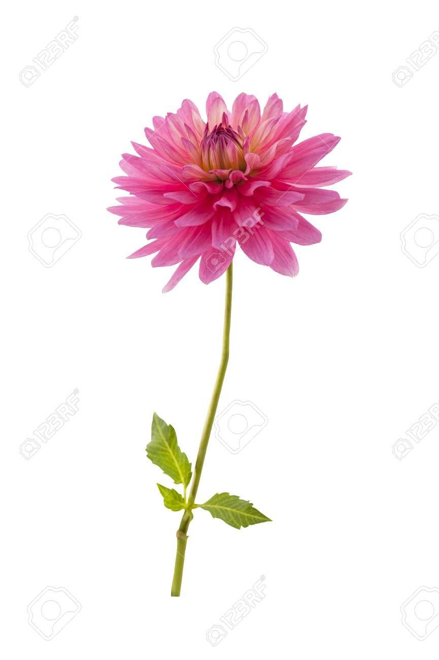 Single Pink Dahlia Flower Single Pink Dahlia Flower Isolated Dahlia Flower Flowers Dahlia