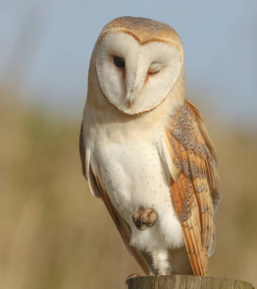 Barn owl owls only pinterest owl bird and snowy owl barn owl buycottarizona