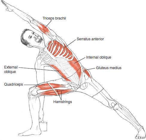 Utthita Parsvakonasana Leslie Kaminoff Yoga Anatomy Illustrated by ...