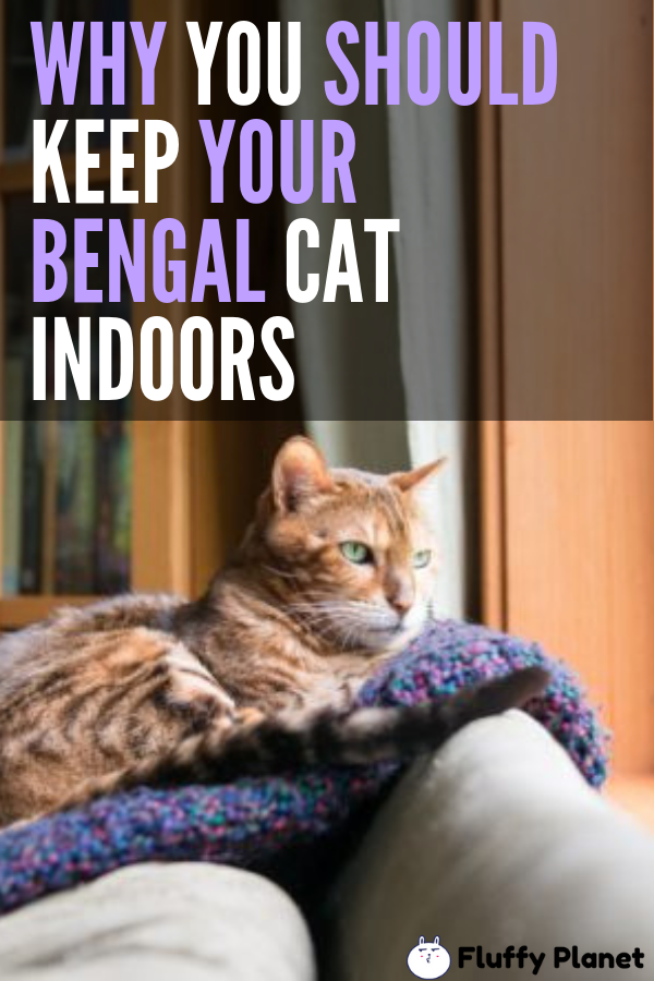 Can Bengal Cat Go Outside