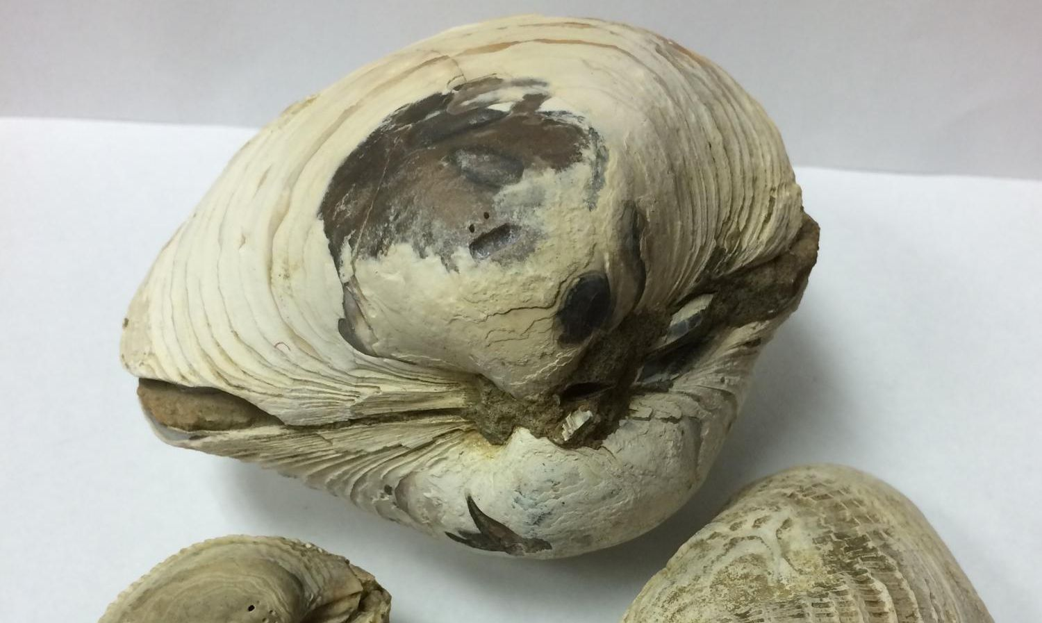 Researchers studying fossilized bivalves discovered evidence of a one-two punch of cataclysmic climate change.