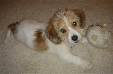 Mookie The 13 Week Old Glechon Puppy Beagle X Bichon Hybrid