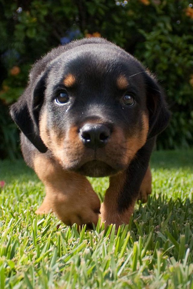Baby Rottweilers For Free Gentle Baby Rottweiler Now Ready And