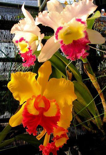 Group Of Anggrek Blooming Flowers Unusual Flowers Rare Flowers