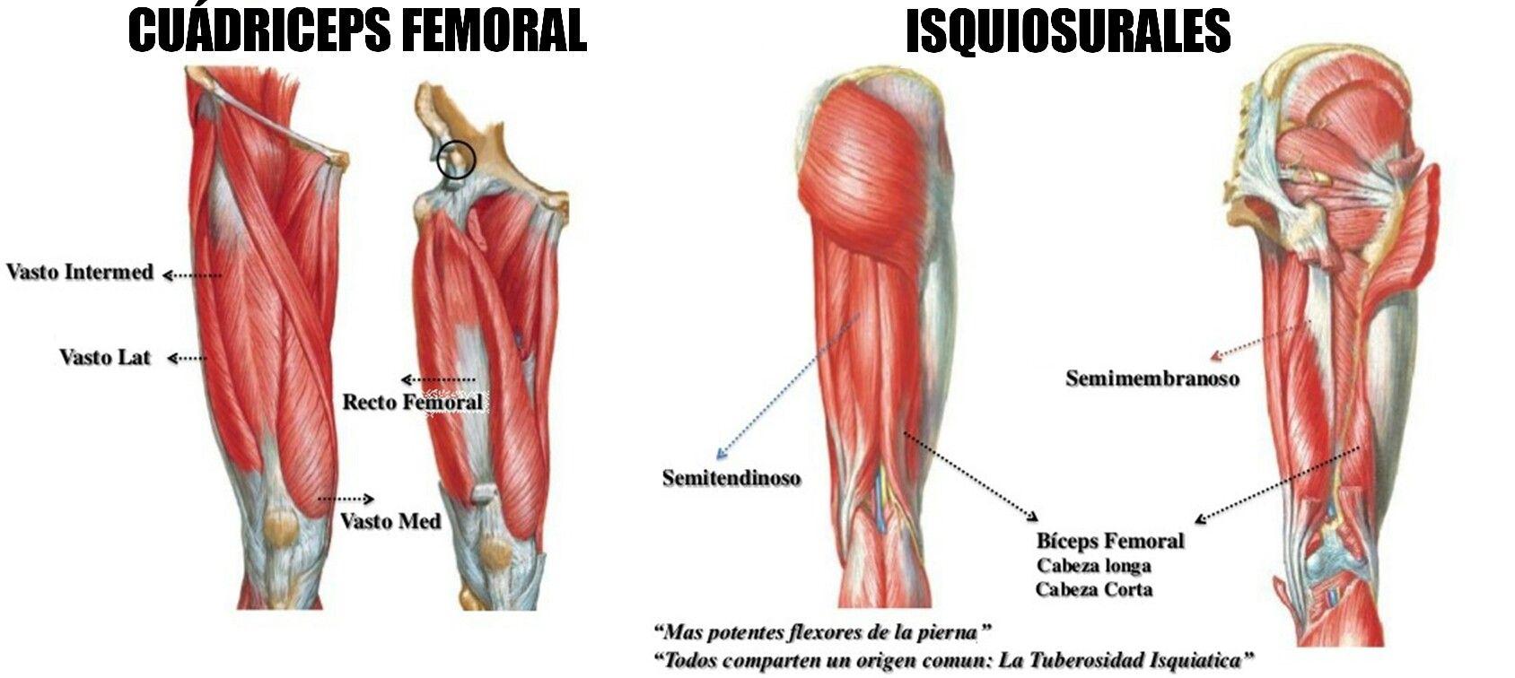 Único Etiquetado Anatomía Muscular Galería - Anatomía de Las ...