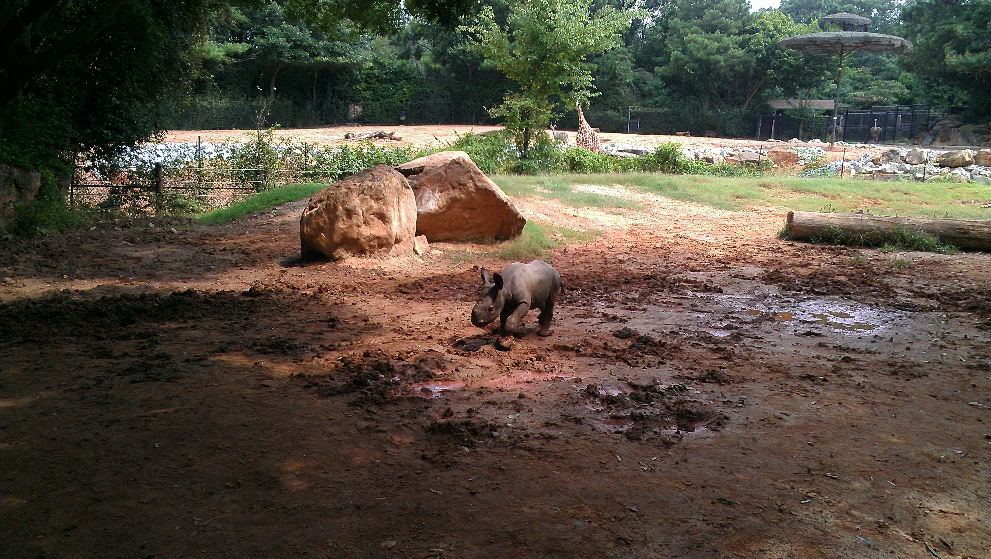 Baby's first wallow? Mammal Keeper Kim captured a peek at the 1-month-old eastern black rhino calf meeting mud. A giraffe and a lesser kudu (background) apparently agree that this is worth watching. #CutenessZooATL