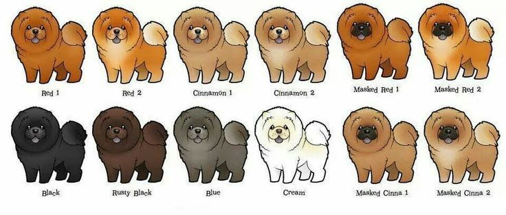 Chow Chow dog price range. How much does a Chow Chow cost