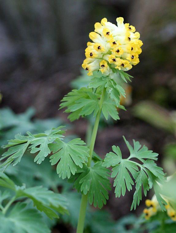jalokiurunkannus-emäkkikasvit-Corydalis nobilis -köyliö-Finland-photo Jari Taivainen