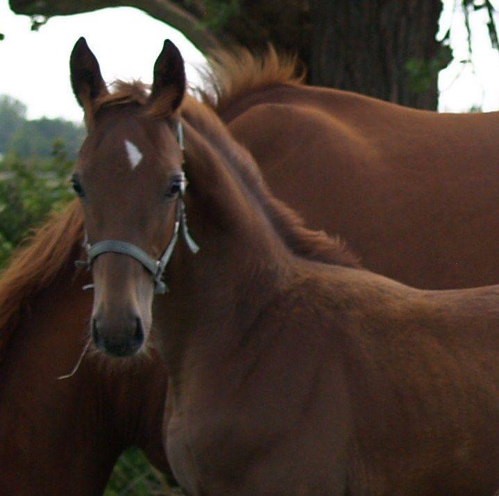 Lasar IV H - e. Solos Landtinus / Lucky Light  #Stutteri #horses #Heste #fyn #fynskeheste #føl #plage