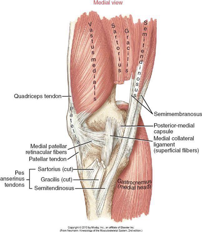 Pin By Meredith Lujan On Catnatomy Muscle Anatomy Anatomy Muscle