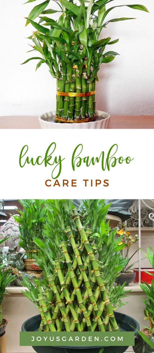 Lucky Bamboo is a fascinating houseplant that grows in water Its great for beginning garden Lucky Bamboo is a fascinating houseplant that grows in water Its great for beg...