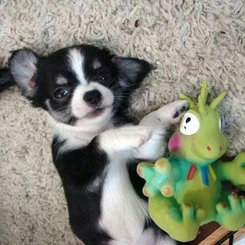 Chihuahua  Puppy...