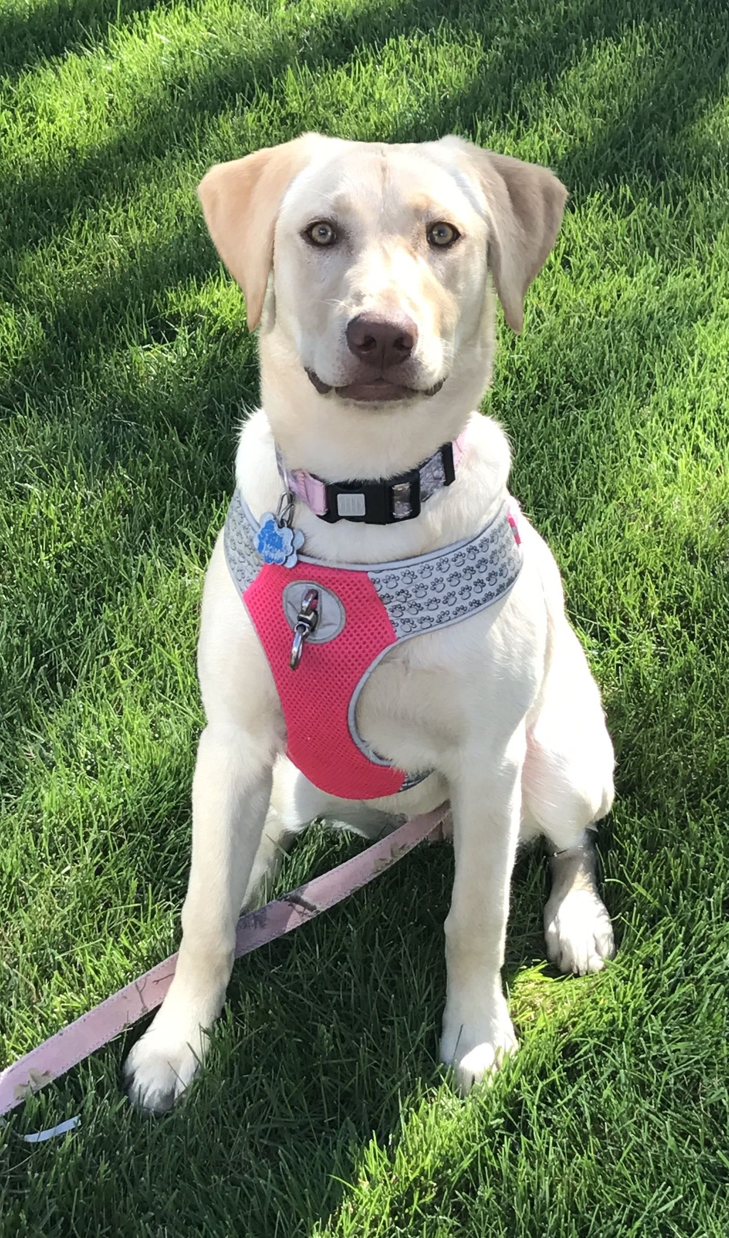 Ansley Is An Adventurous Yellow Lab From Nebraska Become A Fan Of