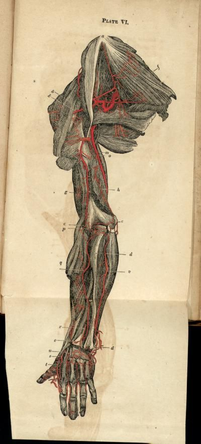 Anatomia Collection Uoft Libraries Arteries Of The Arm Anatomy
