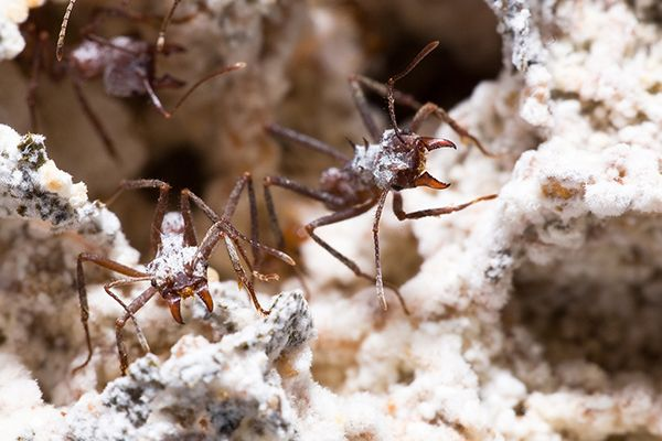Image Result For Fungus Farming Ants Ant Fungus Ants