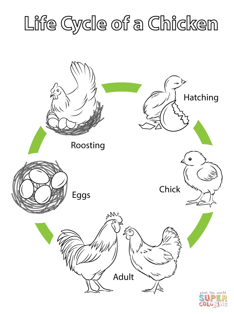 Life Cycle Of A Chicken Coloring Page Free Printable Coloring Pages In 2020 Life Cycles Chicken Life Cycle Life Cycles Preschool