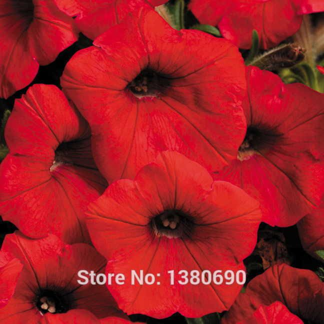 10 Shock Wave Red Petunia Seeds Self-clean Keeping The Plant Even More Attractive  Home Garden Vegetable Seeds +Mystery Gift