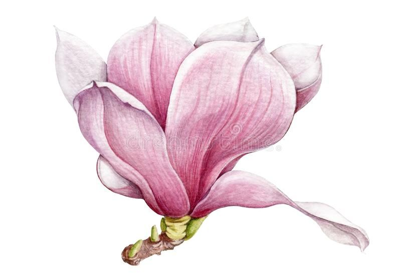 Watercolor Tender Pink Magnolia Flower With Green Buds Illustration Hand Drawn Lush Spring Blossom Isola Magnolia Branch Magnolia Flower Botanical Watercolor