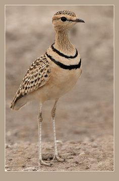 The 'Double-banded Courser' (Rhinoptilus africanus), also known as the 'Two-banded Courser', is a species of bird in the Glareolidae family.  It is found in Ethiopia, Somalia, South Africa, Tanzania. The bird is widespread enough to have practically no chance of becoming endangered or extinct. The Double-Banded Courser lives and breeds in flat, stony or gravelly, semi-desert terrains with firm, sandy soil and tufty grass or thorn scrub.