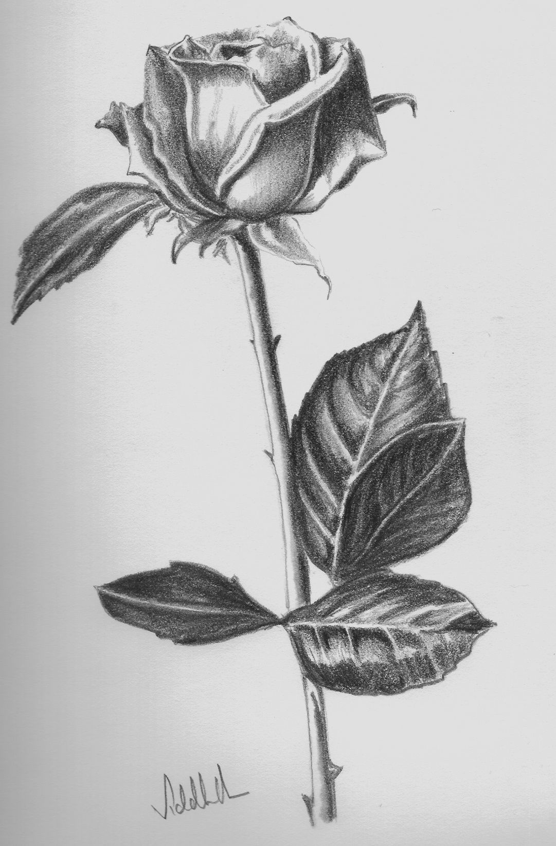 Image detail for flower pencil sketch light and shade