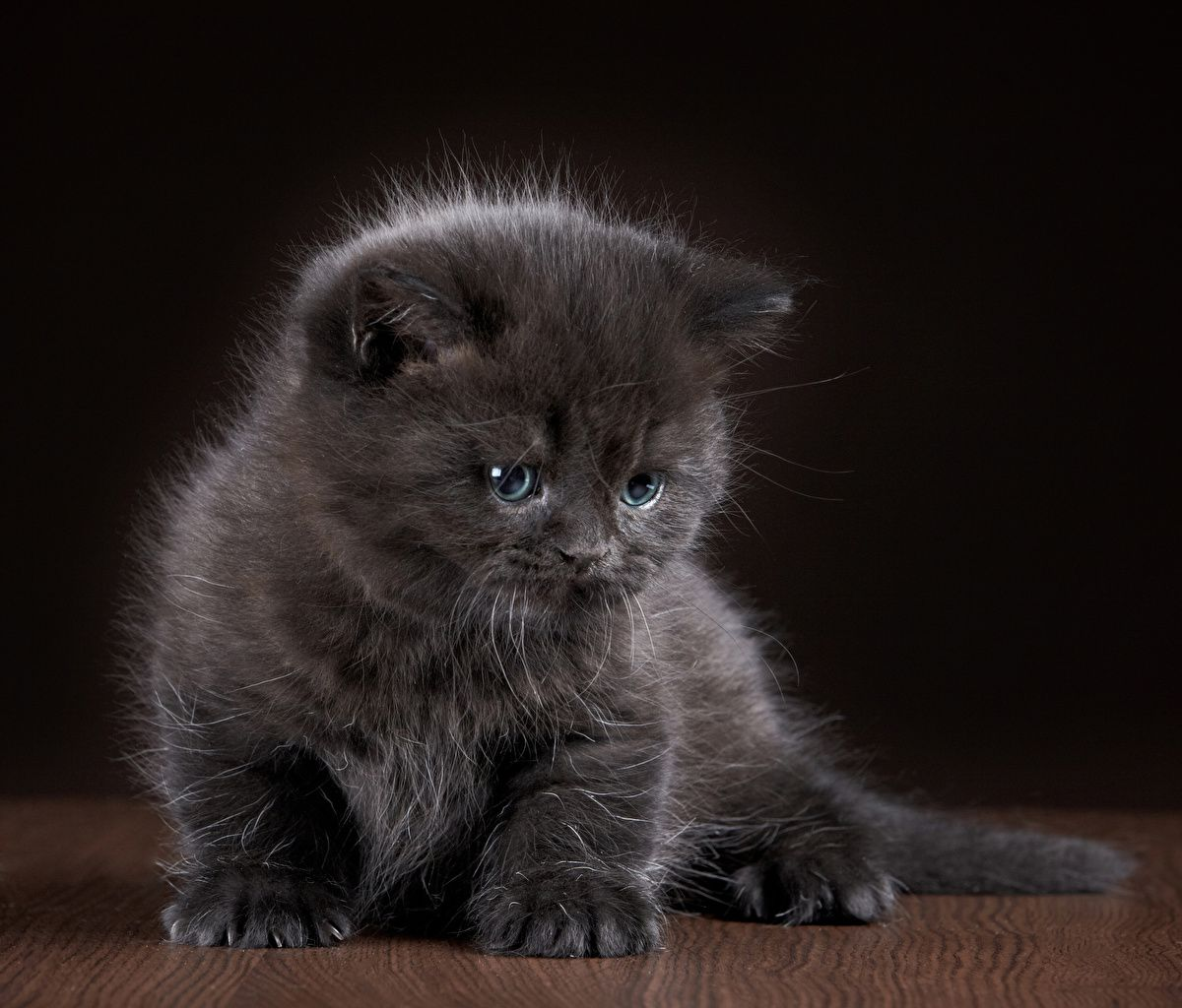 Chat Domestique Chatons Gris Animaux Chaton Gris Cute Kittens Animaux