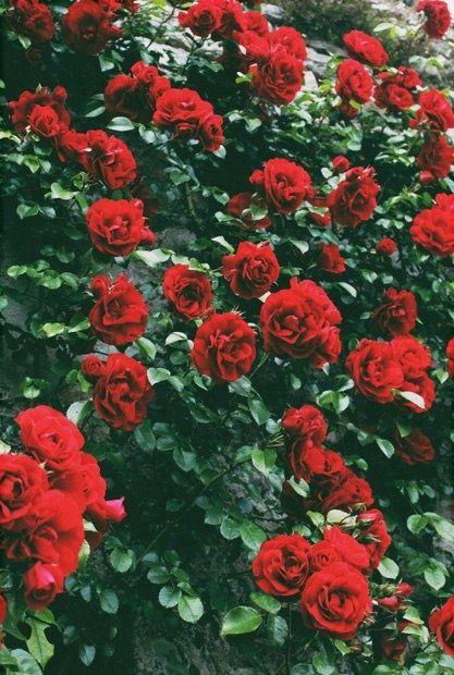 Red Roses St Valentine Vintage Flowers Wallpaper Red Roses