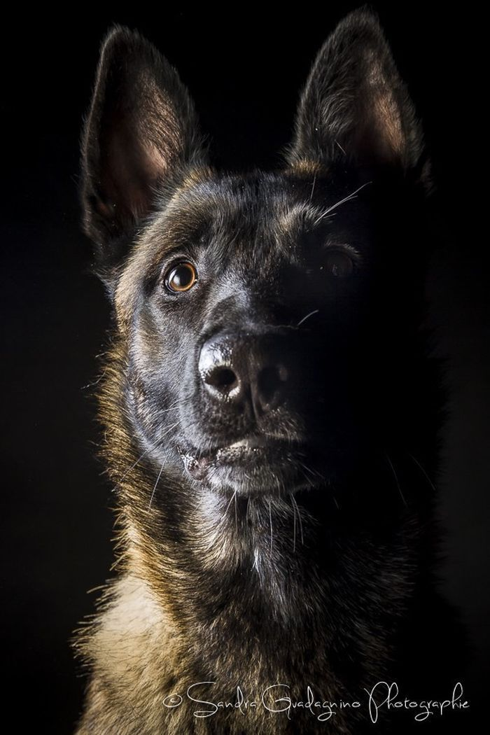 Pin by Alexa Grey on Dogs Lover Belgian malinois dog