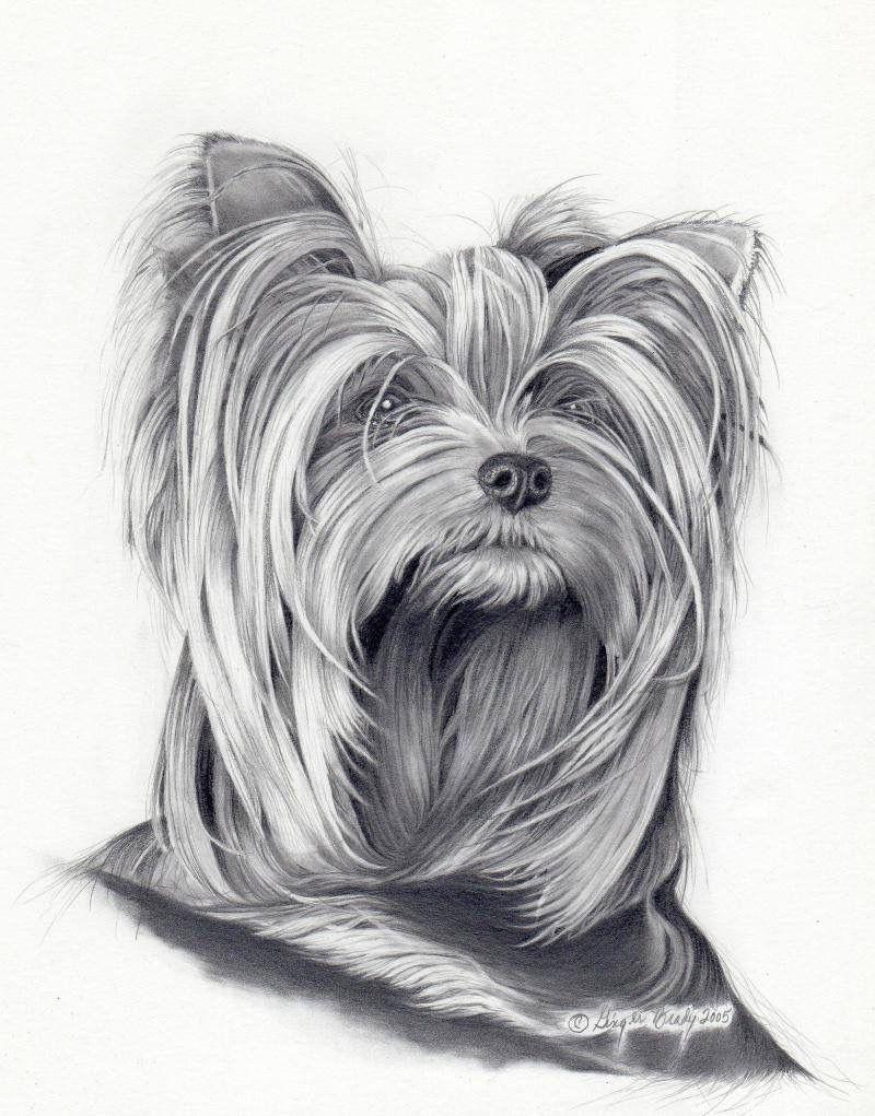 Yorkshire Terrier Sketch Yorky Terrier Dibujos De Perros Perros Yorkie